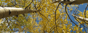 Fall Aspens by Frank Fehlman - All copyrights reserved